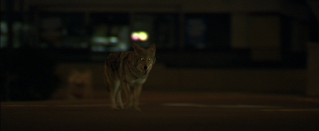 A coyote wanders out of Los Angeles...