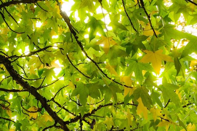 sun-leaves